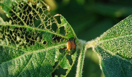 Japanese Beetle Identification and Management in Soybeans