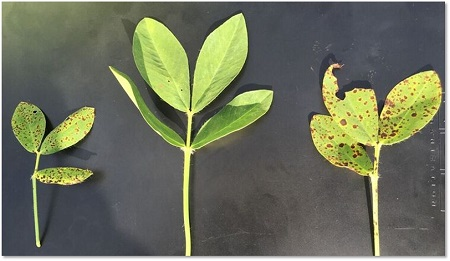 Comparison photo of peanut that is untreated, uses Adepidyn fungicide and uses Priaxor®