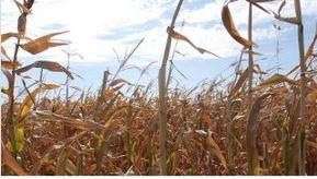 NK Corn hybrids