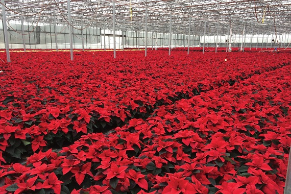 Poinsettas in greenhouse