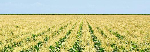 The Attribute Trait Stack Simplifies Growing Sweet Corn