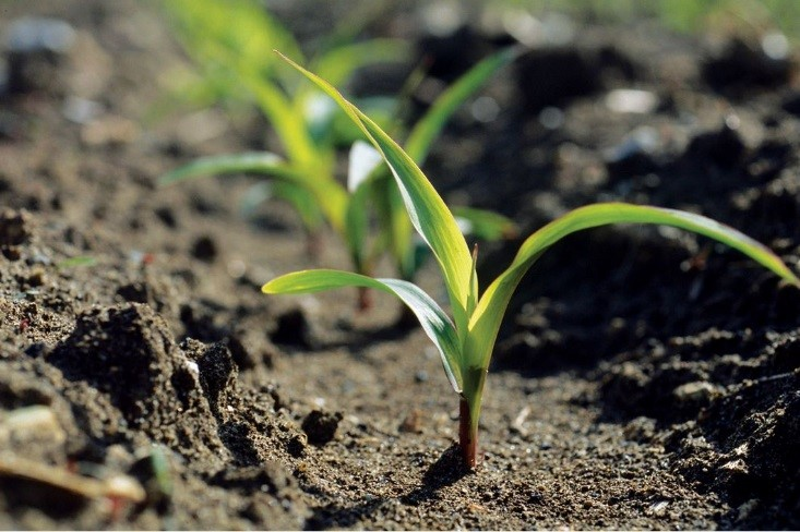 5 Tips To Growing Corn Successfully Golden Harvest