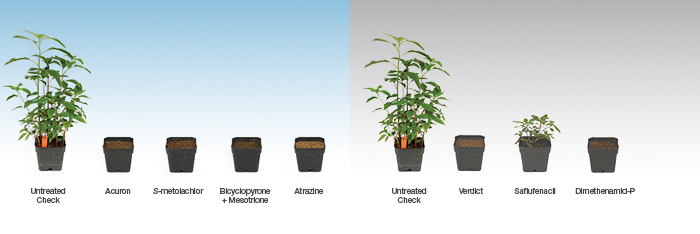 More modes of action in Acuron fully provided control of waterhemp, while only one of the modes of action in Verdict provided effective control
