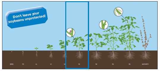 Graphic depiction of soybean growth stages