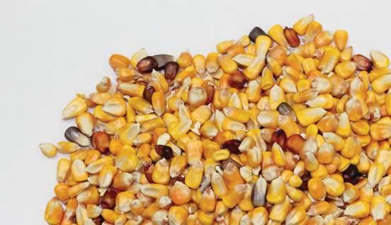 stewardship-corn-kernals