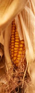 Corn Type Flexibility Pillar
