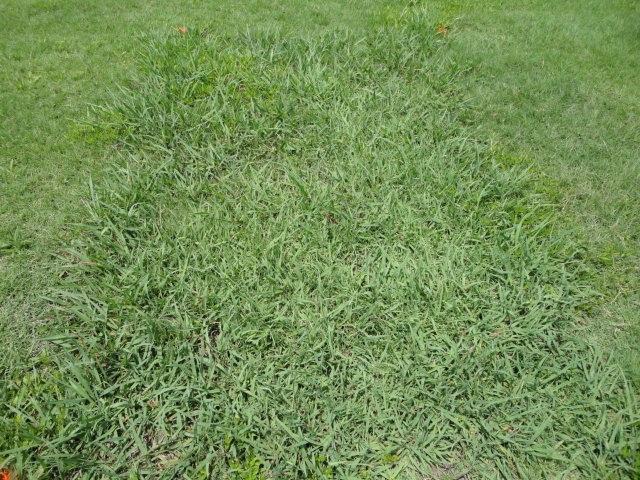 dallisgrass untreated plot