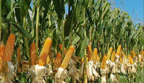 ethanol production cornstalks