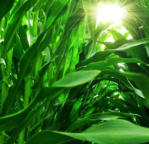 corn-field-close-up