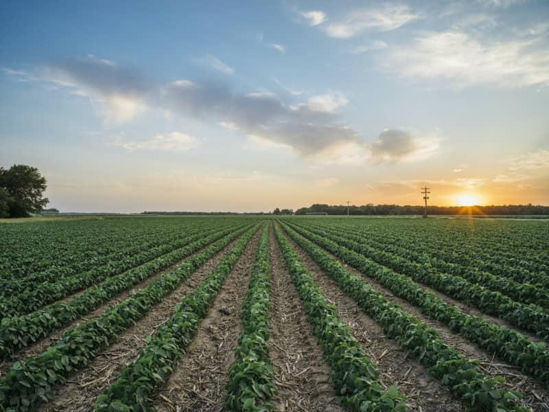 Soybean Beauty