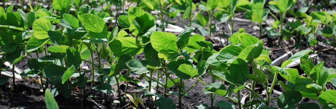 Syngenta Soybean