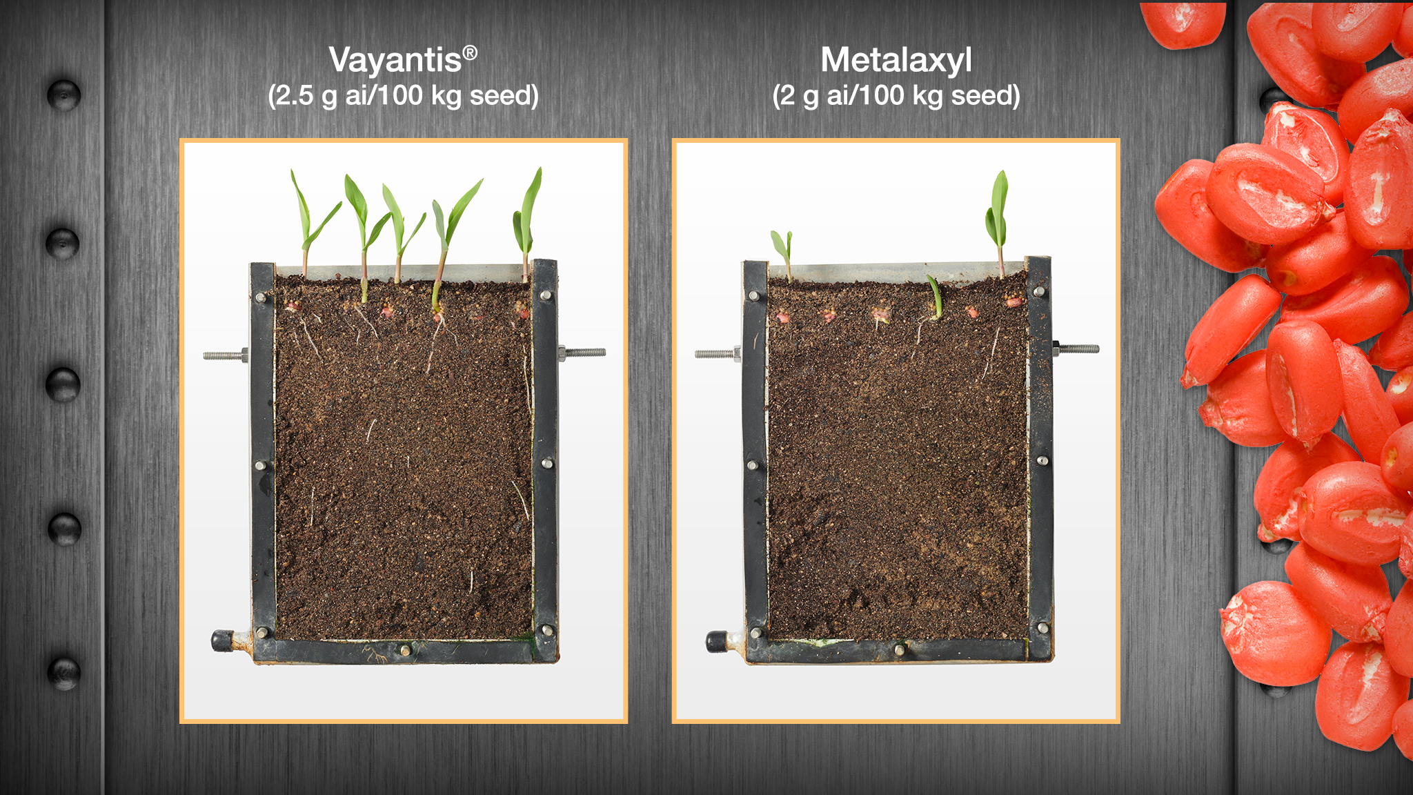 Comparison between corn seedlings from Syngenta trials in Stanton, MN, 2020