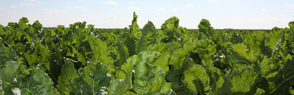 Sugarbeets Hero